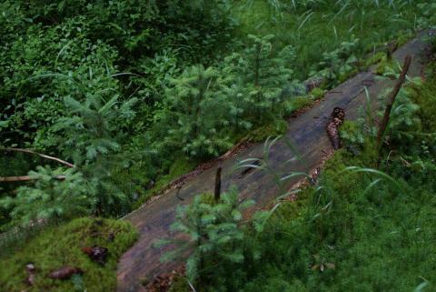 Přirozená obnova lesa - Šumava (foto: Markéta Jedličková / Hnutí DUHA)